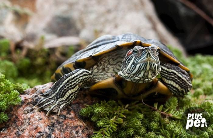 Чем кормить красноухих черепах?