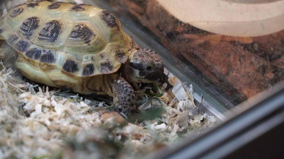 Размножение сухопутных черепах в неволе. При каких условиях можно получить потомство?