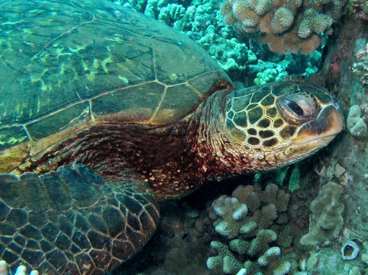 Зелёная черепаха википедия