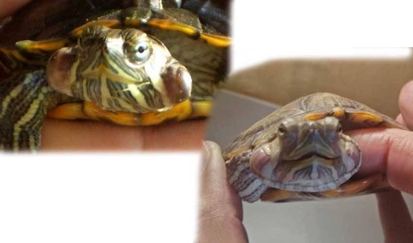 Болезни черепах - черепахи.ру - все о черепахах и для черепах