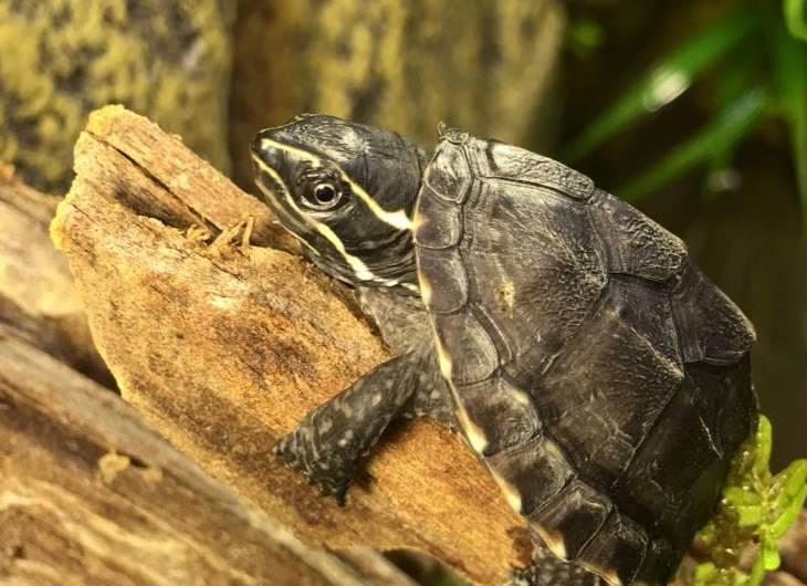 Мускусная черепаха. образ жизни и среда обитания мускусной черепахи