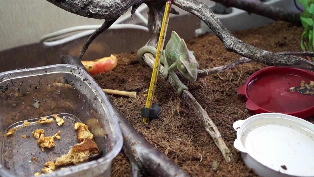 Как и чем кормить хамелеона в домашних условиях?