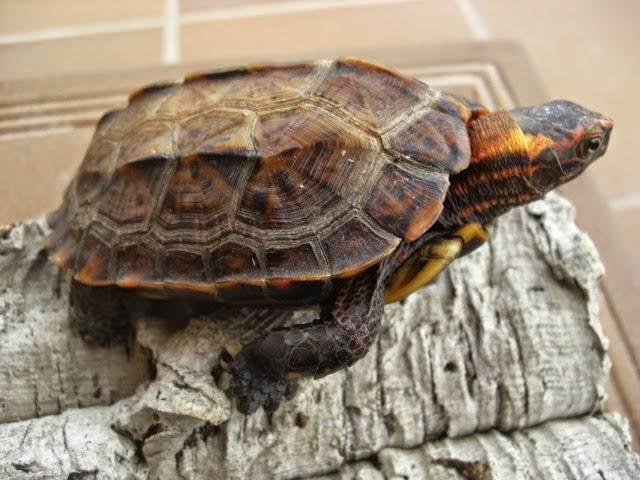 Homopus signatus (капская крапчатая плоская черепаха) - черепахи.ру - все о черепахах и для черепах