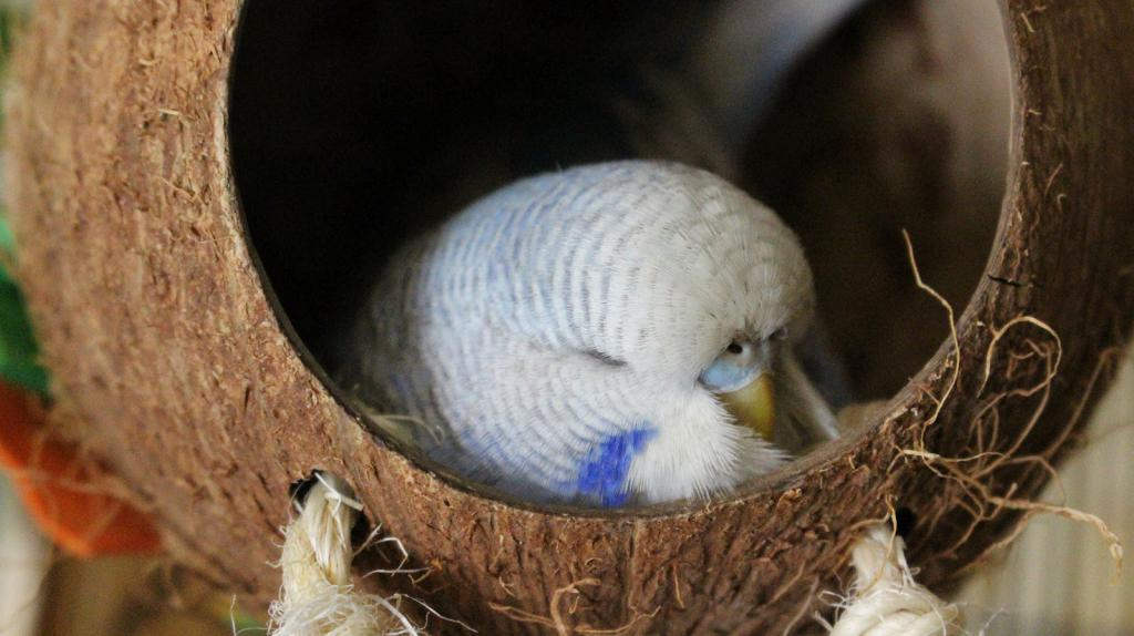 Сколько и как спят волнистые попугаи