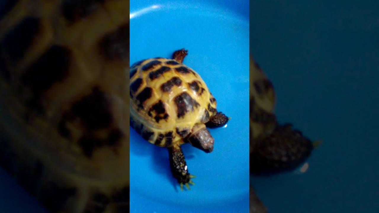 Содержание и уход за красноухой черепахой в домашних условиях