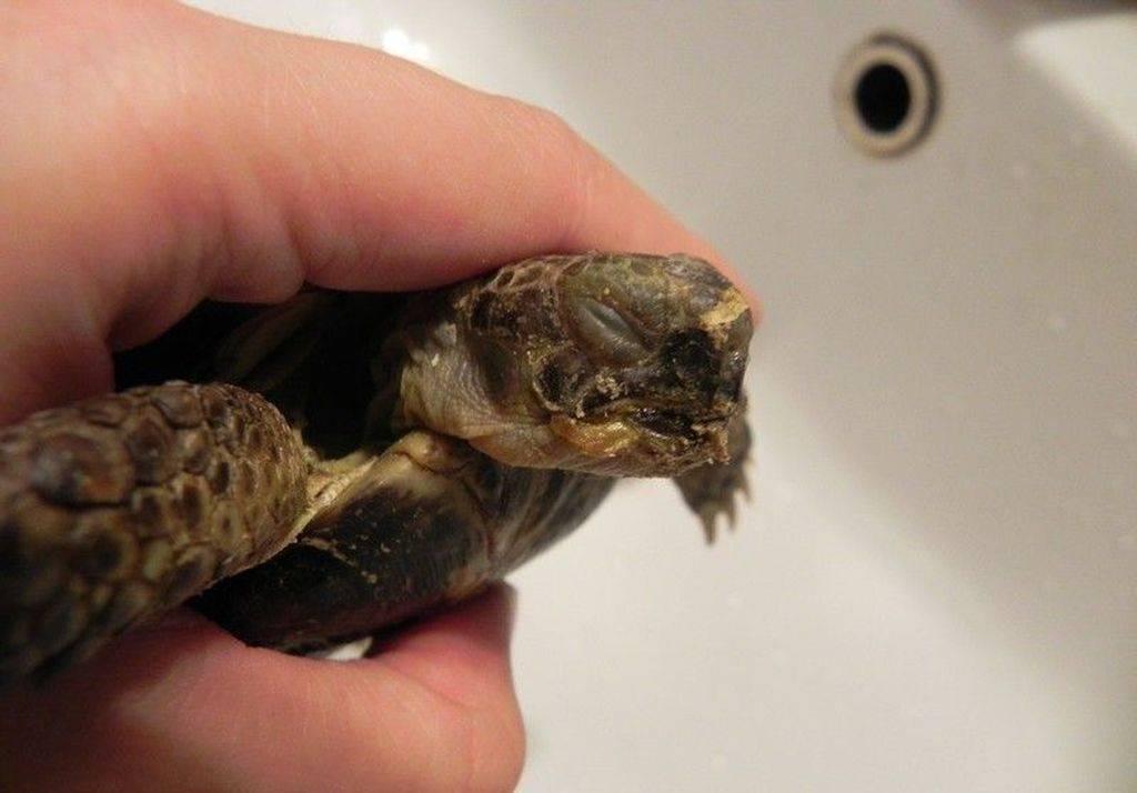 Спячка красноухих черепах. что нужно знать? как черепахи зимуют в природе впадают ли в спячку сухопутные черепахи