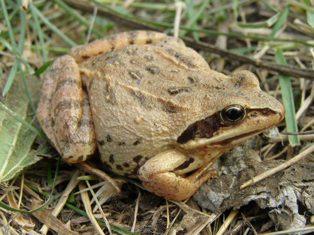 Травяная лягушка: описание, фото, места обитания, образ жизни