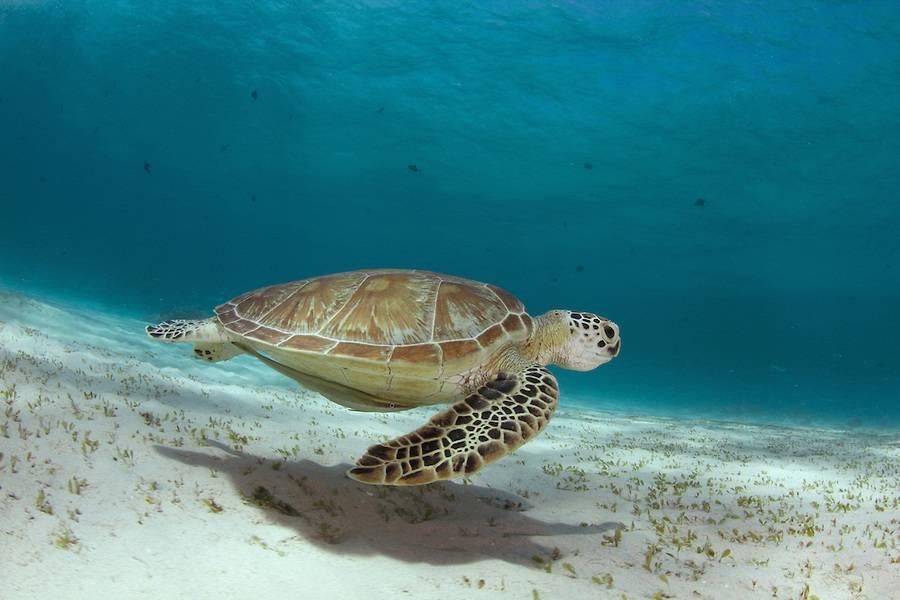 Морские черепахи — википедия. что такое морские черепахи