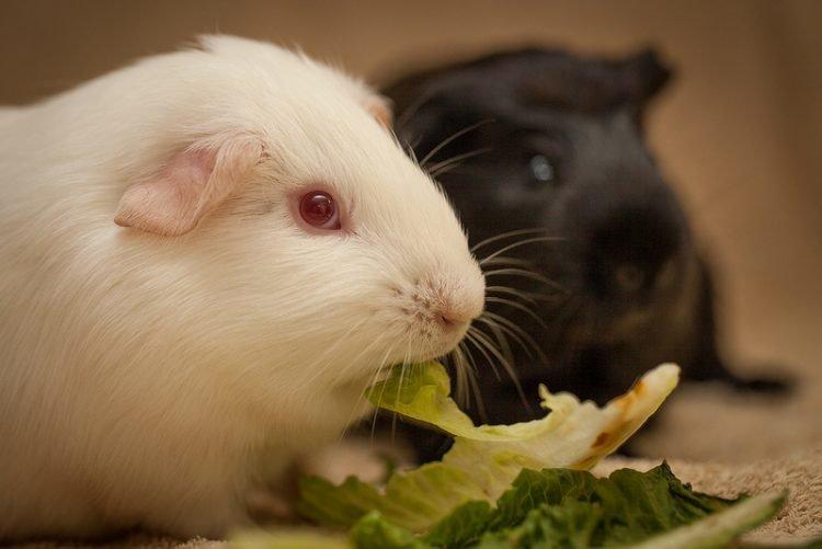 Сыр: можно ли давать морским свинкам?