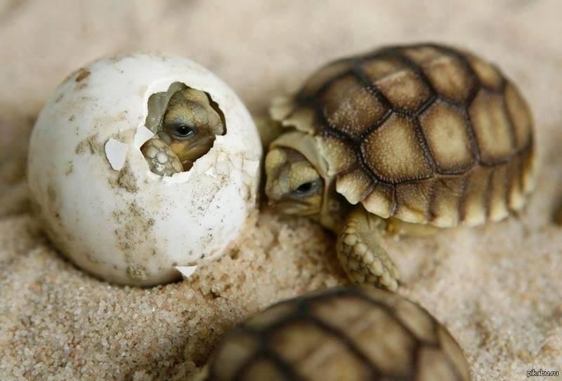 Морские черепахи через сколько вылупляются. интересные факты о черепахах. как создать нужные условия для роста потомства