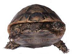 Фестиваль «земля черепахи» в заповеднике «утриш» текст научной статьи по специальности «биологические науки»