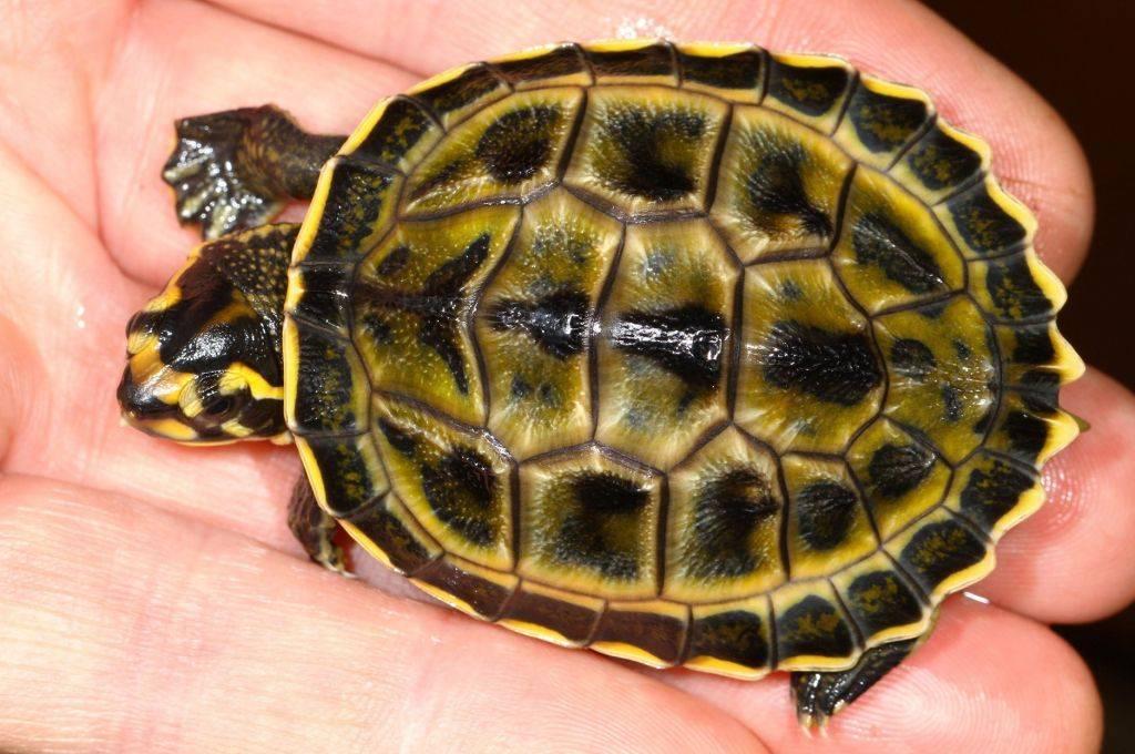 Деликатес или друг: правда и ужасы о черепахах в мире людей
