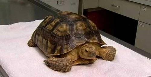 Деликатес или друг: правда и ужасы о черепахах в мире людей – москва 24, 23.05.2017
