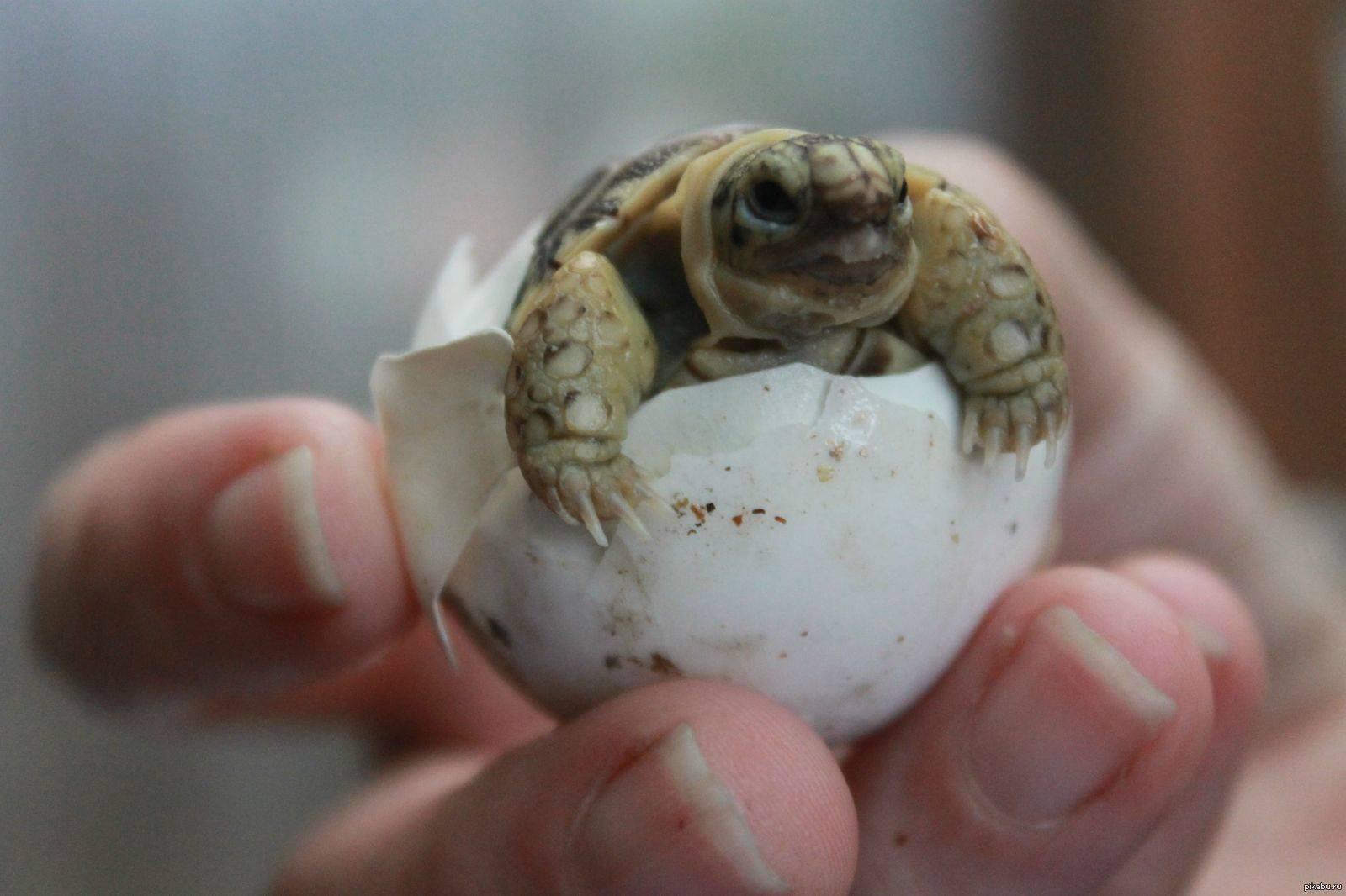 Ожирение у сухопутных черепах
