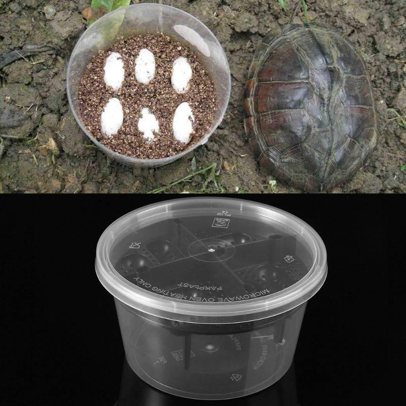 Процесс кладки яиц у красноухой черепахи