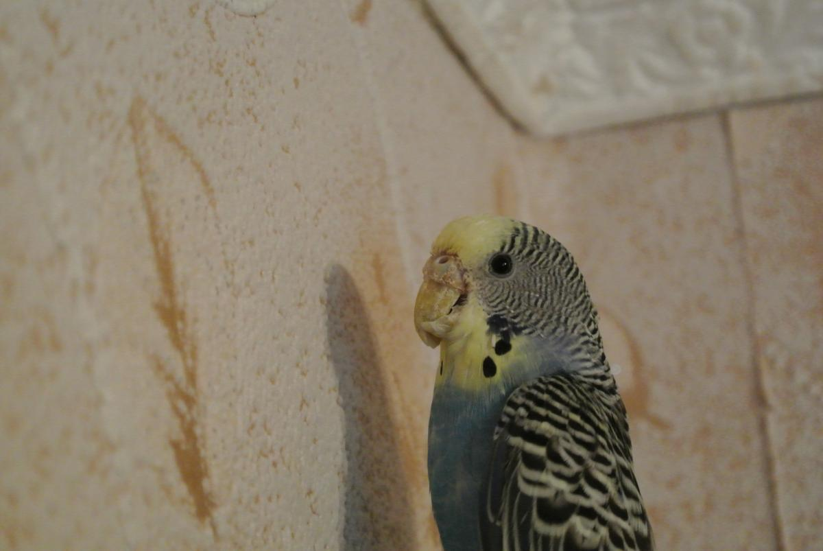 О чем расскажет клюв волнистого попугайчика