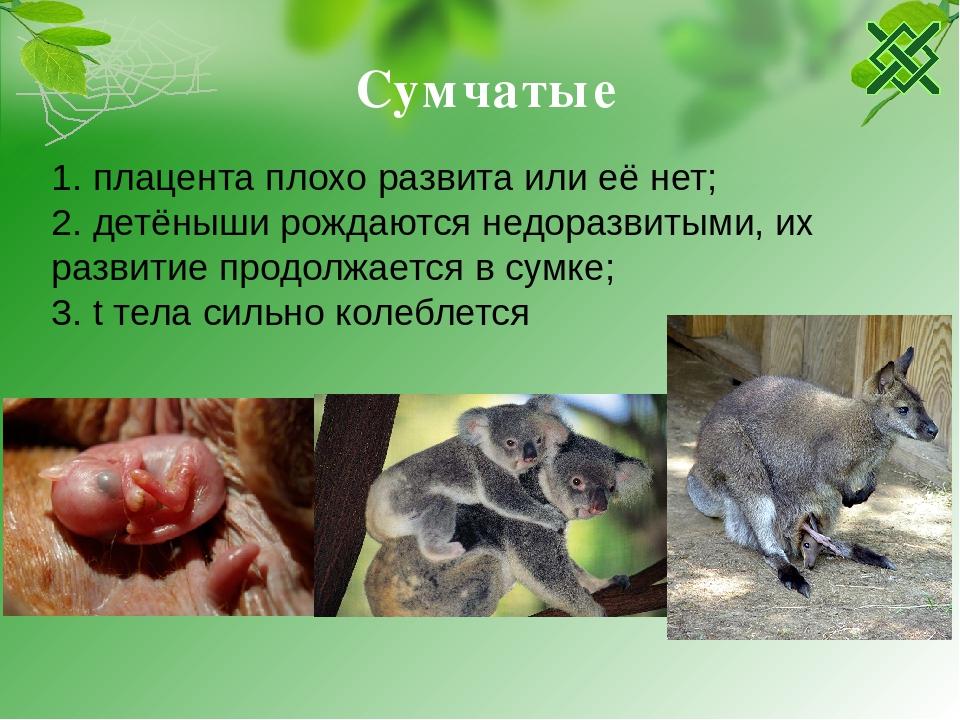 Сумчатые животные: виды, фото, особенности размножения