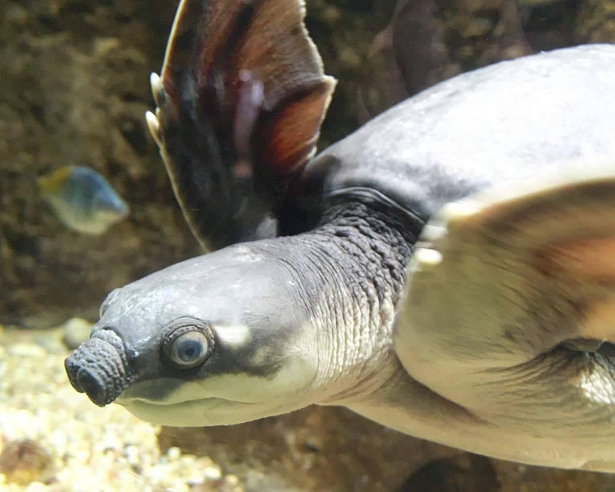Двухкоготные черепахи — википедия переиздание // wiki 2