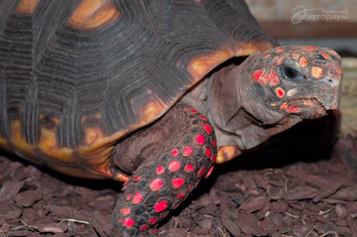 Красноногая черепаха википедия