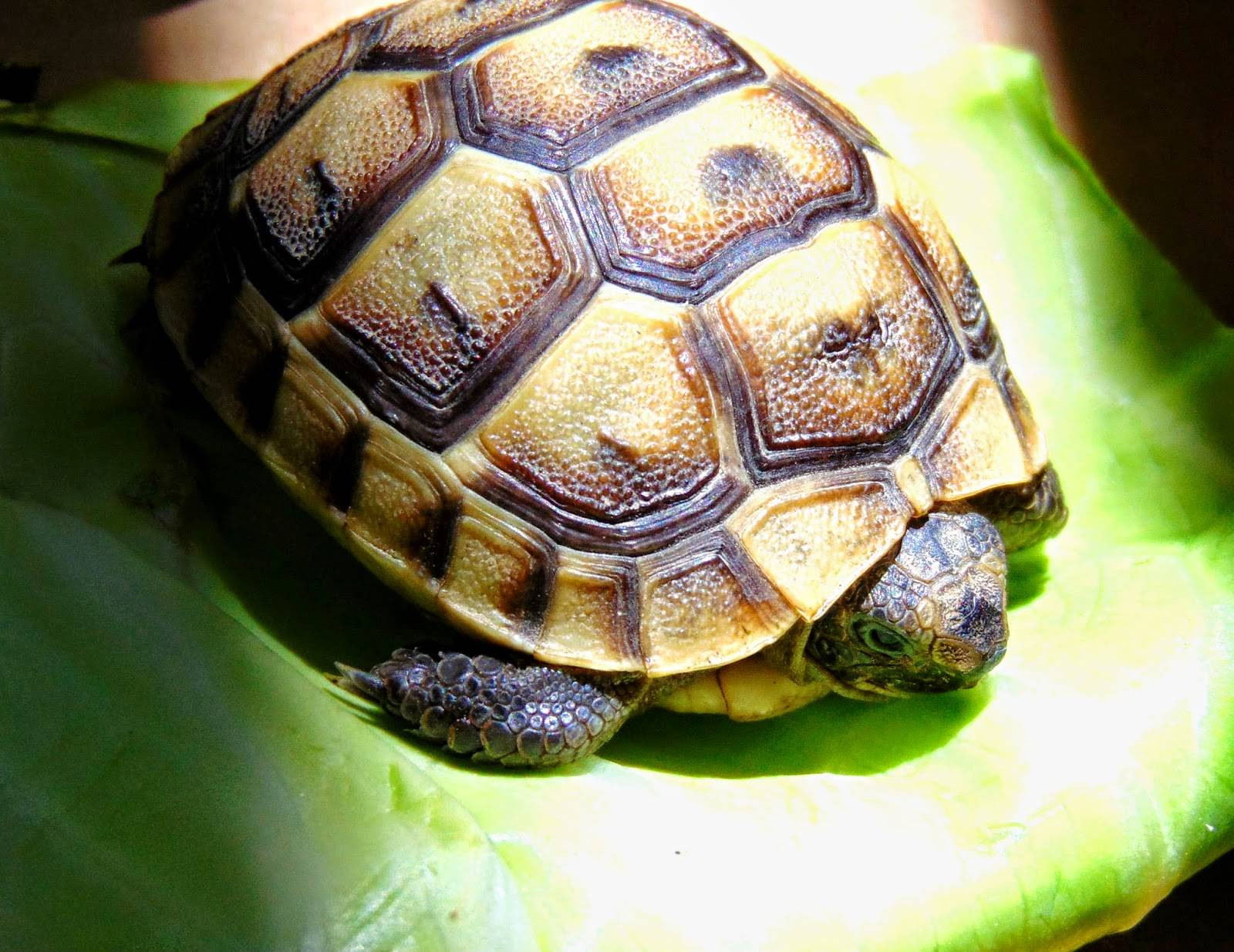Балканская черепаха википедия