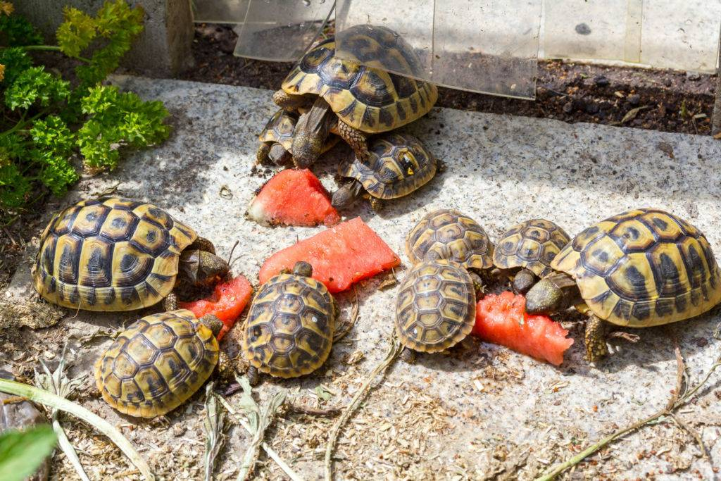 Кормление среднеазиатской черепахи