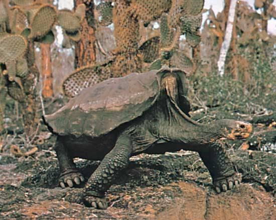 Odontochelys - odontochelys - qwe.wiki