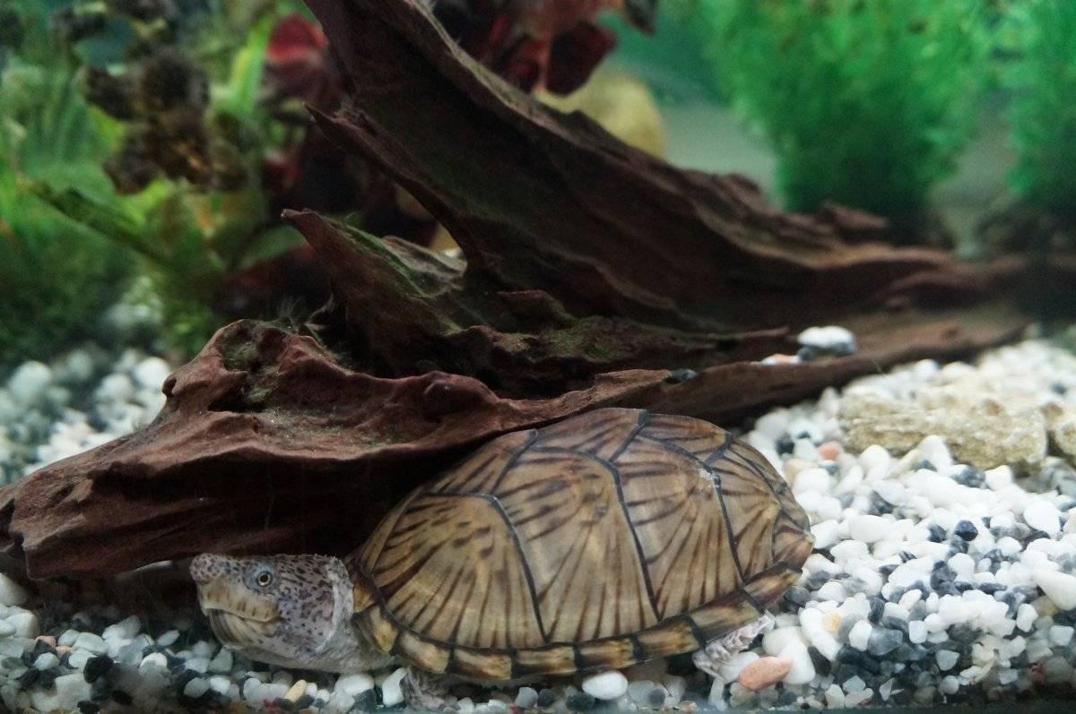 Sternotherus odoratus (обыкновенная мускусная черепаха) - черепахи.ру - все о черепахах и для черепах
