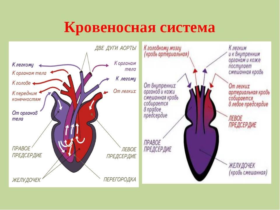 Кровеносная система лошади - circulatory system of the horse - qwe.wiki