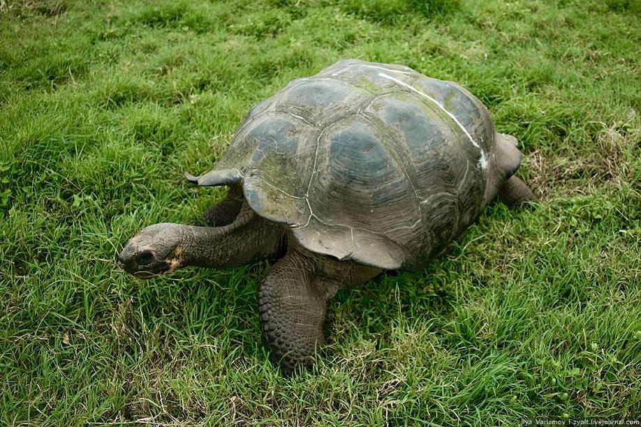 Сухопутная черепаха фото, описание, ареал, питание, враги