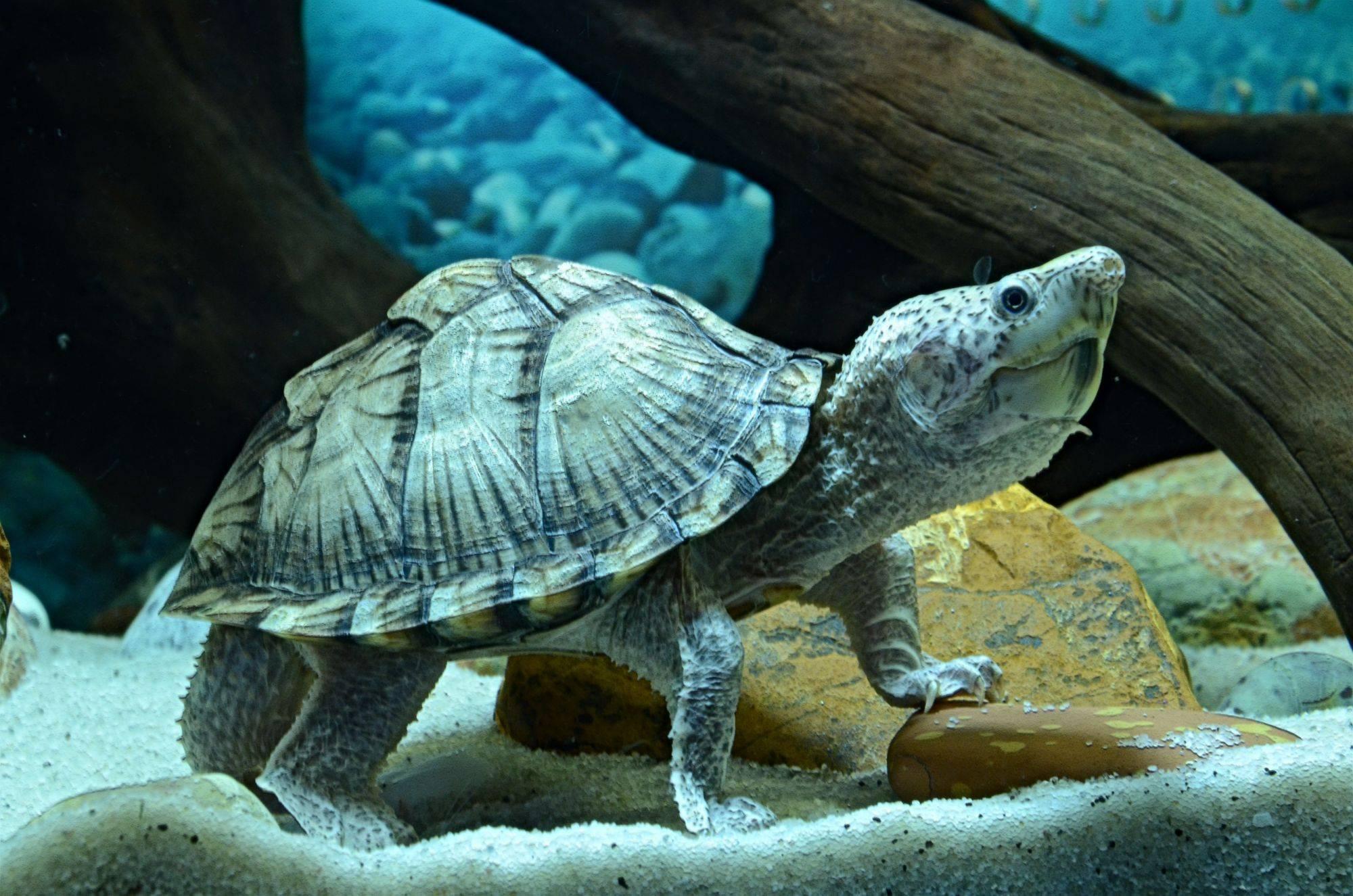 Мускусная черепаха содержание в домашних условиях