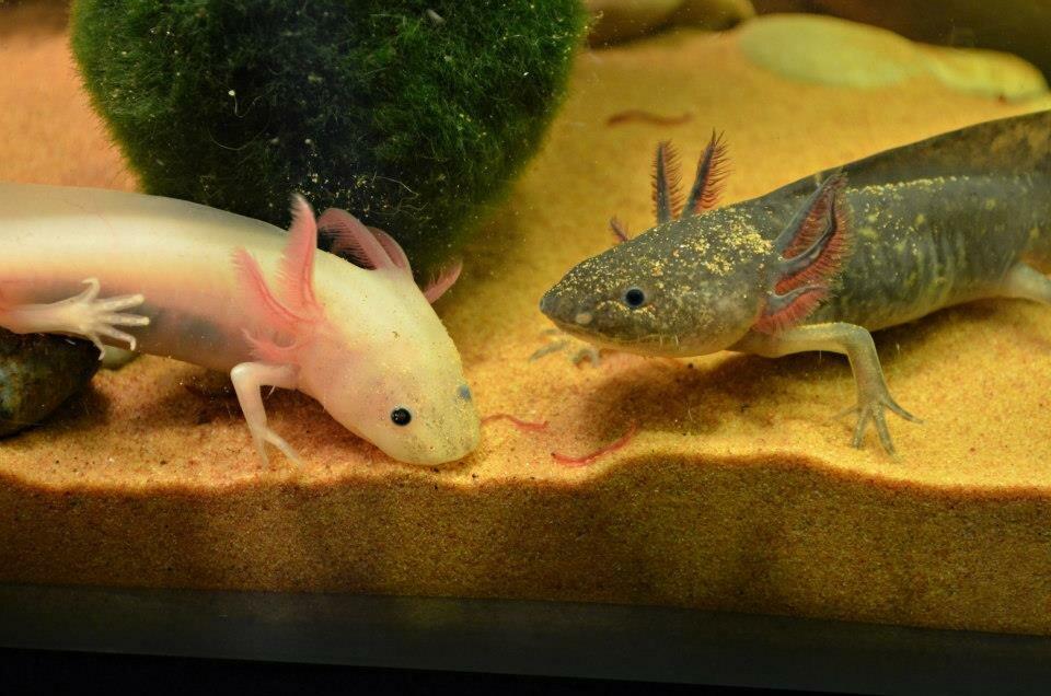 Аксолотль: особенности мексиканской саламандры, содержание в неволе