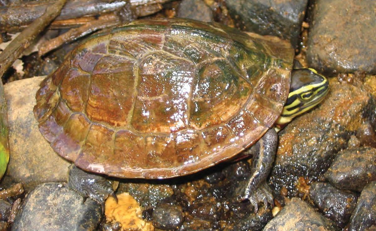 Амбоинская шарнирная (коробчатая) черепаха