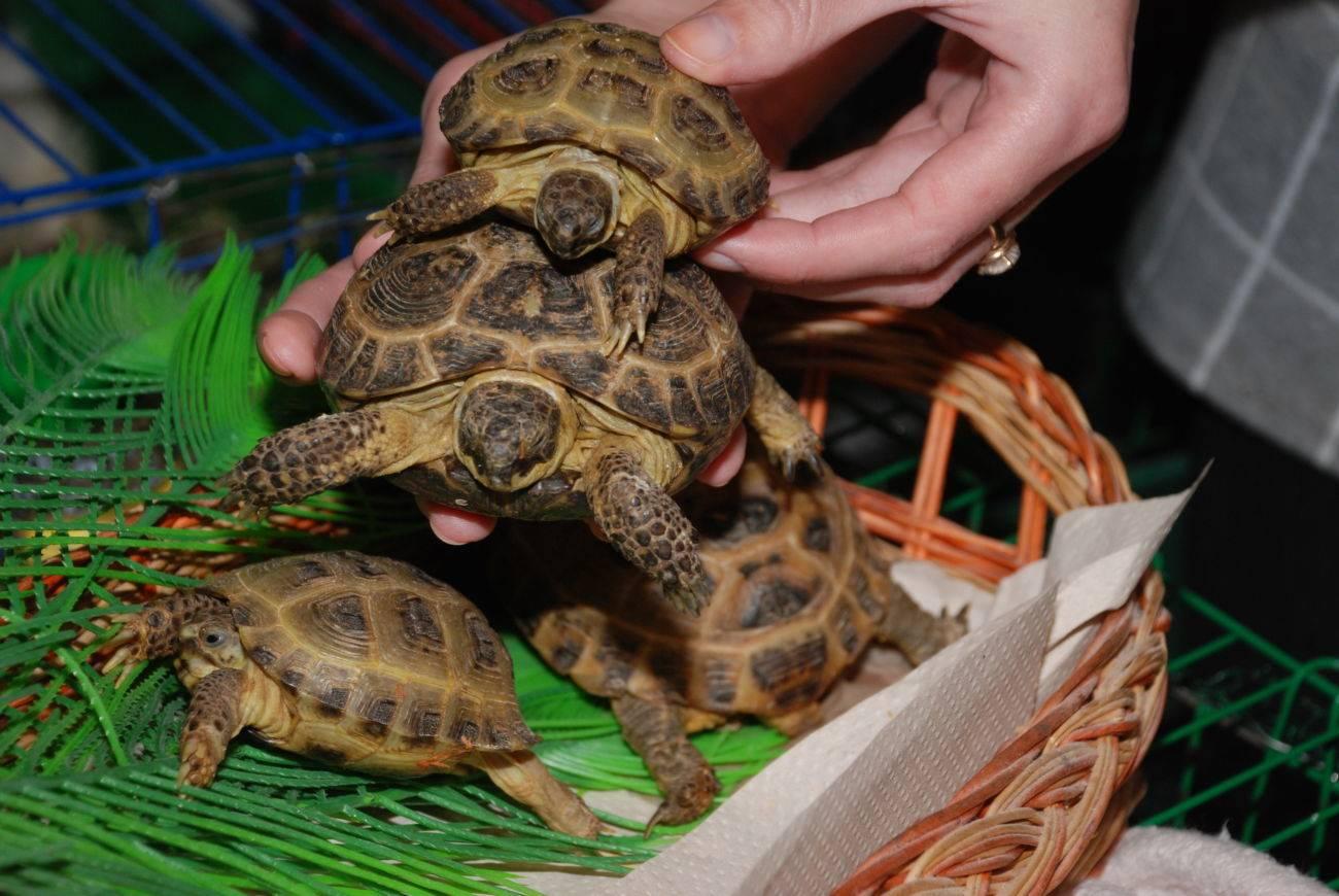 Agrionemys horsfieldii (среднеазиатская степная черепаха) - черепахи.ру - все о черепахах и для черепах