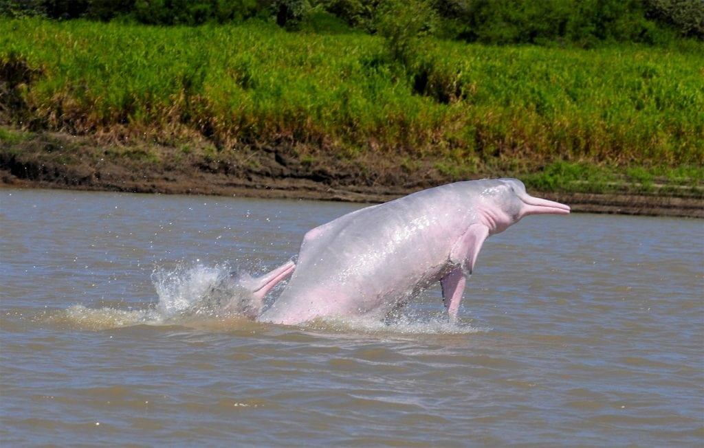 Речные дельфины