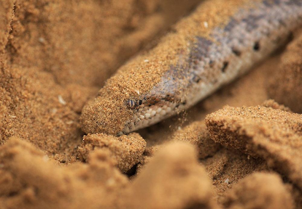 Песчаный удавчик