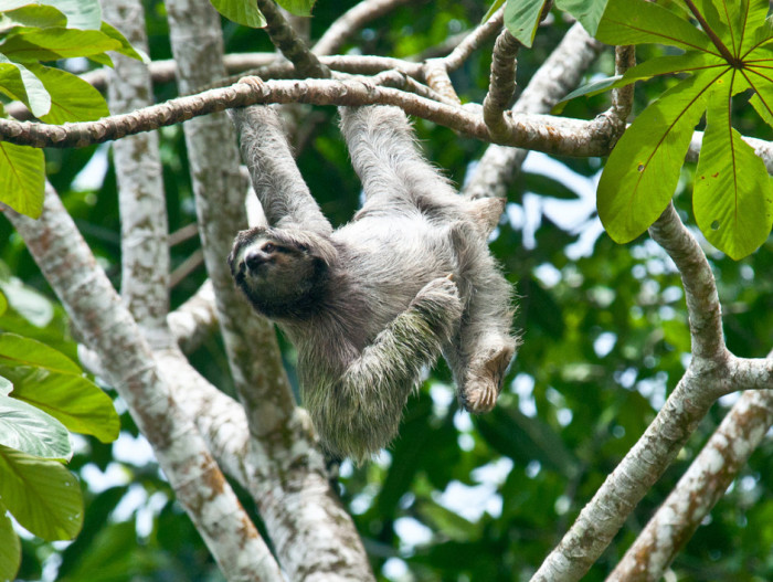Ленивец – фото, описание, особенности