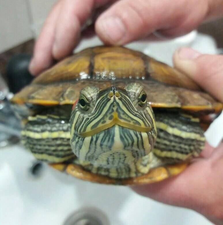 Болезни красноухих черепах: симптомы и лечение, первая помощь в домашних условиях