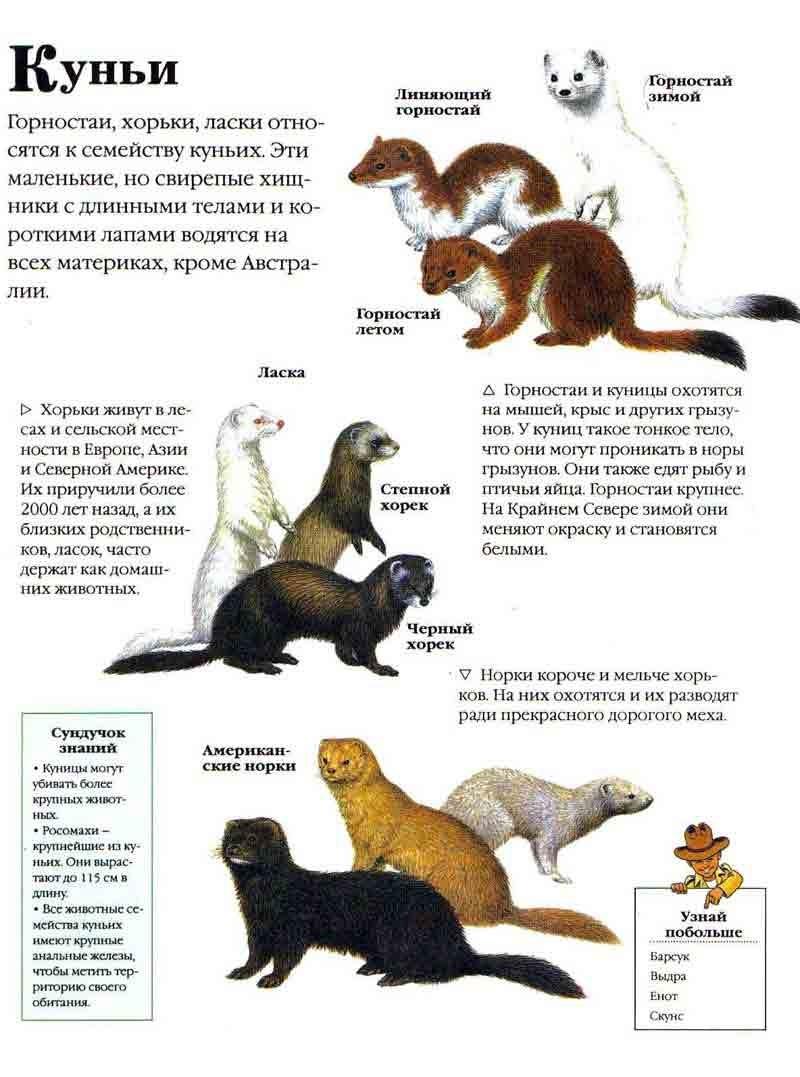 Куницы: виды, фото, особенности хищников