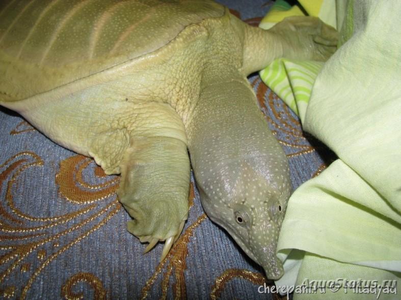 Дальневосточная черепаха — википедия переиздание // wiki 2