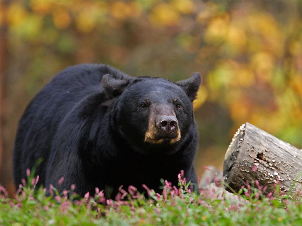 Черный медведь (барибал)