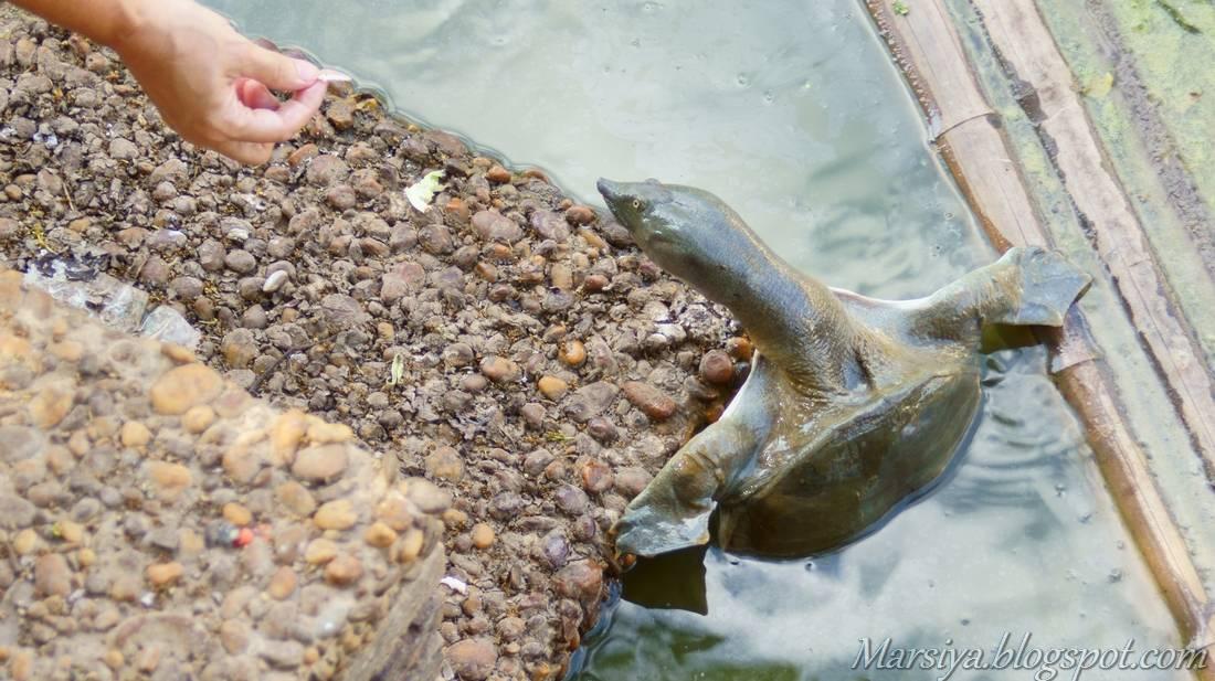 Чем кормить красноухую черепаху