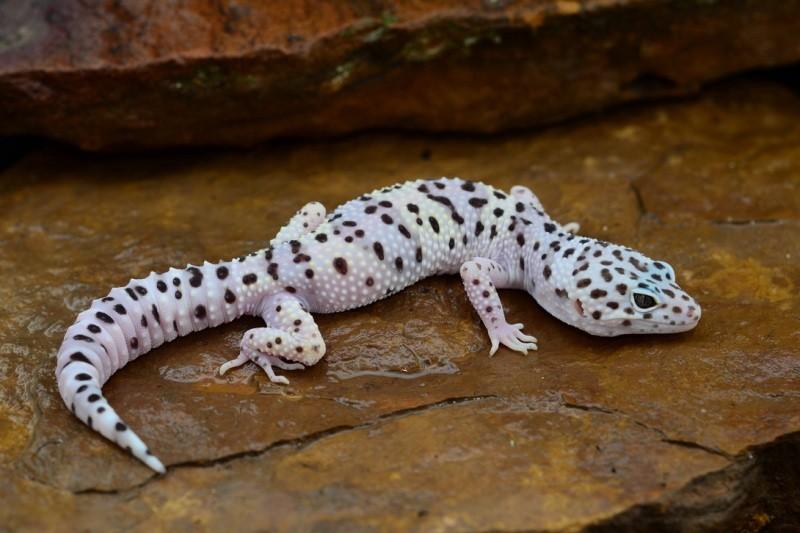 Пятнистый эублефар (леопардовый геккон) в домашних условиях