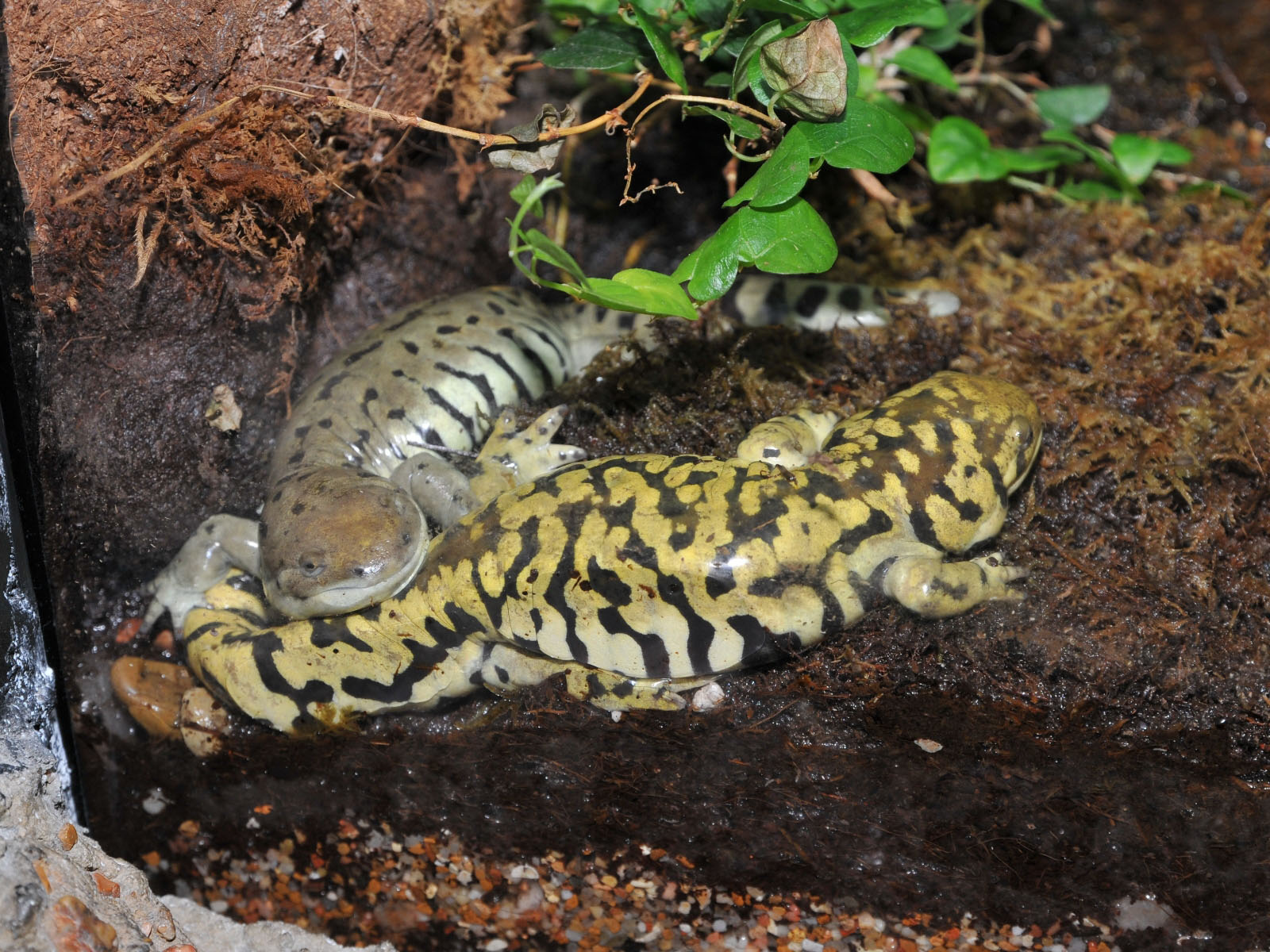 Саламандра – что это за животное? Содержание саламандры