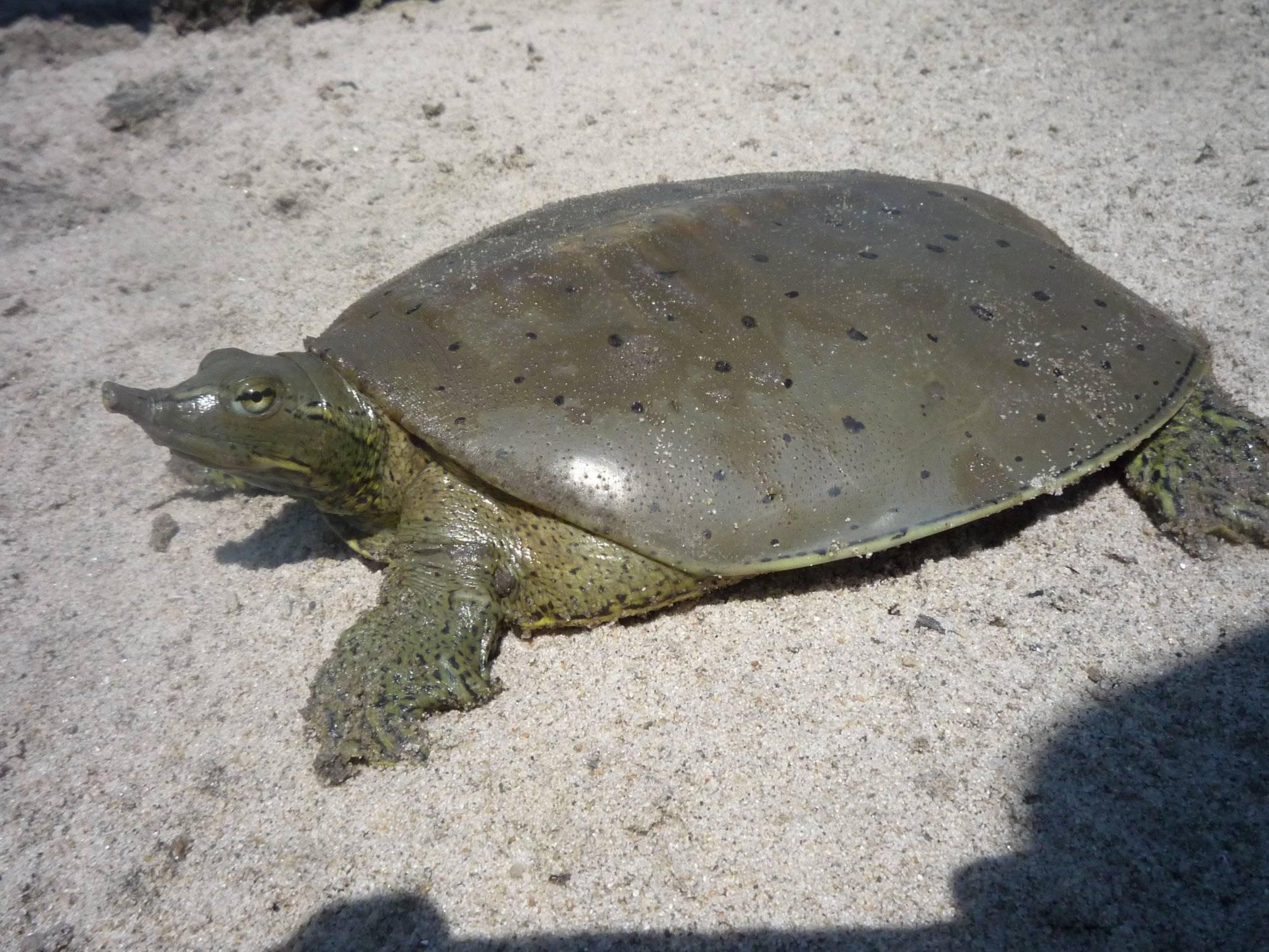 Дальневосточная черепаха (китайский трионикс): содержание и уход