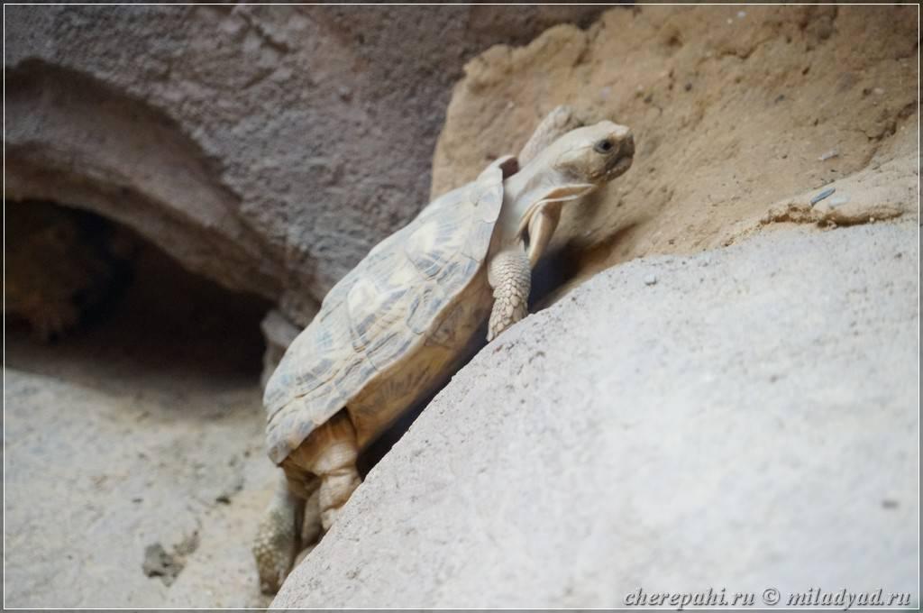 Смотритель черепах одай