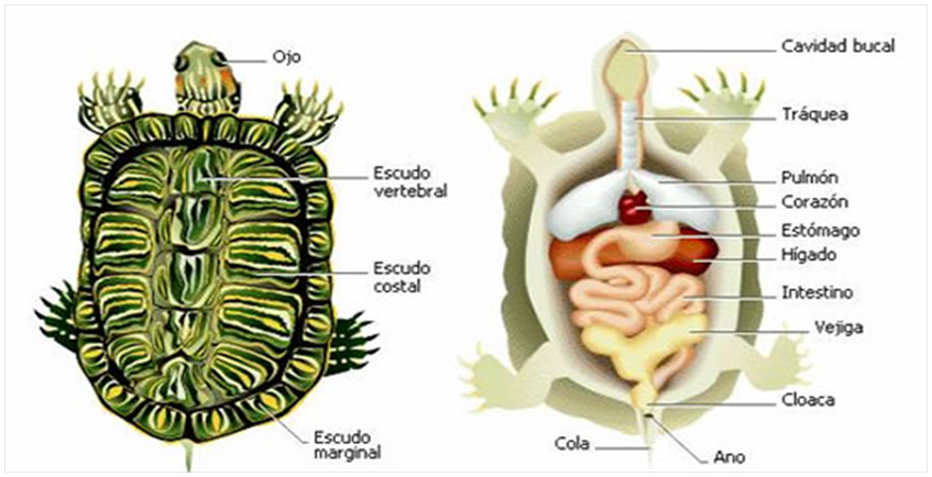 Пищеварительная система членистоногих: тип и структура органов