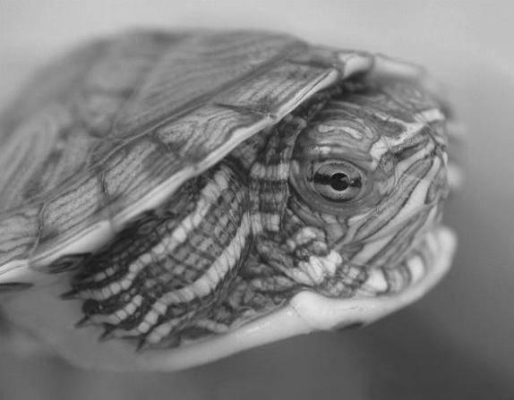 Строение красноухой черепахи