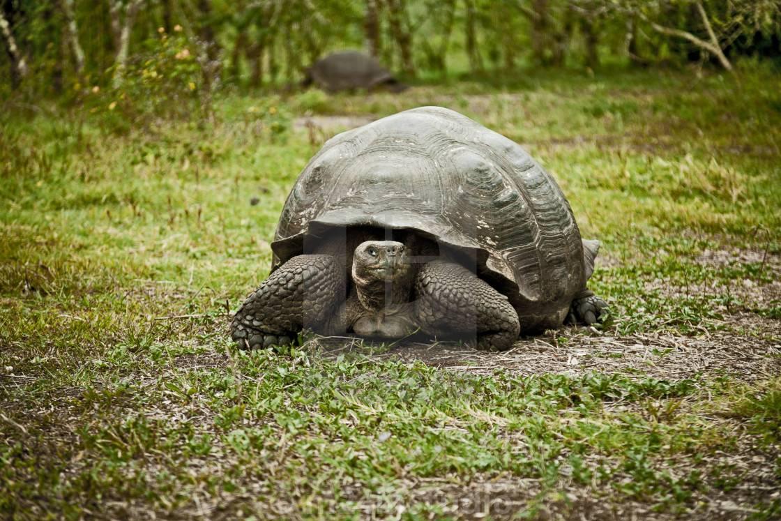 Галапагосская слоновая черепаха википедия