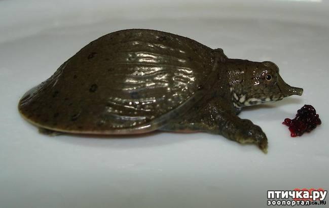 Черепаха китайский трионикс: содержание, уход, фото и видео