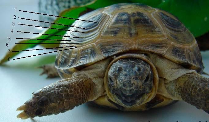 Сколько живут черепахи в домашних условиях
